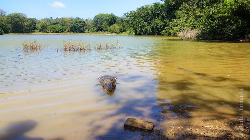san andres big pond lagoon alligator