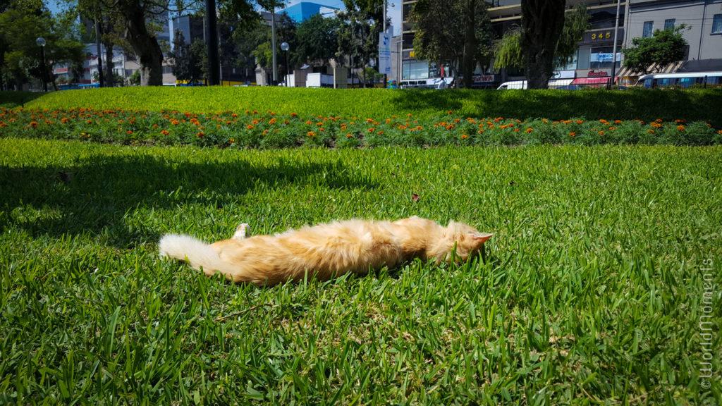 lima parque kennedy cat gras
