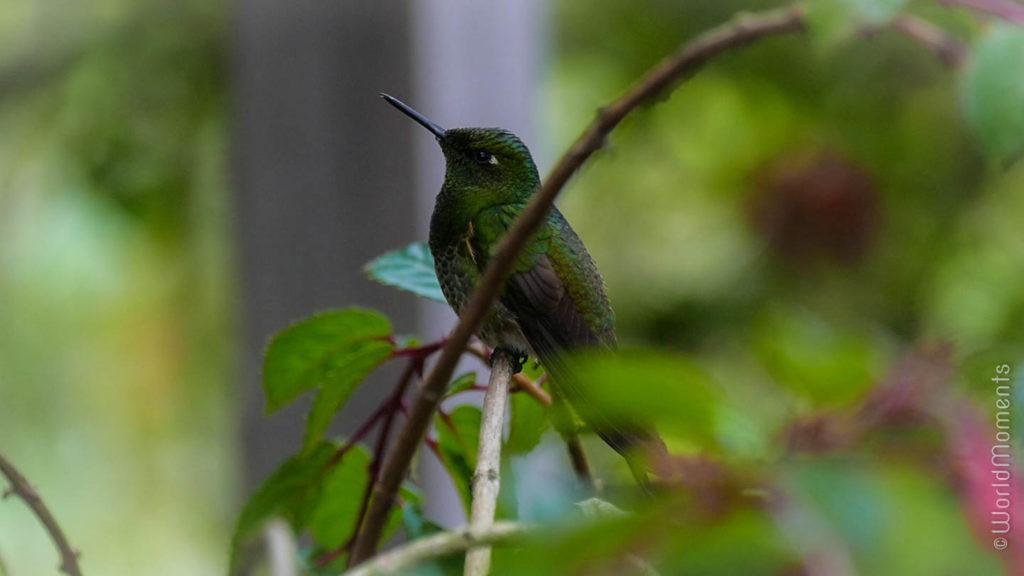 colibrì en el recinto del pensamiento en Manizales